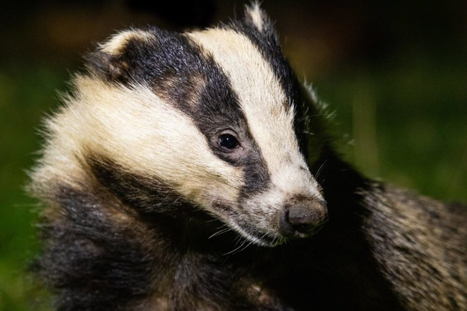 Haweswater Badger