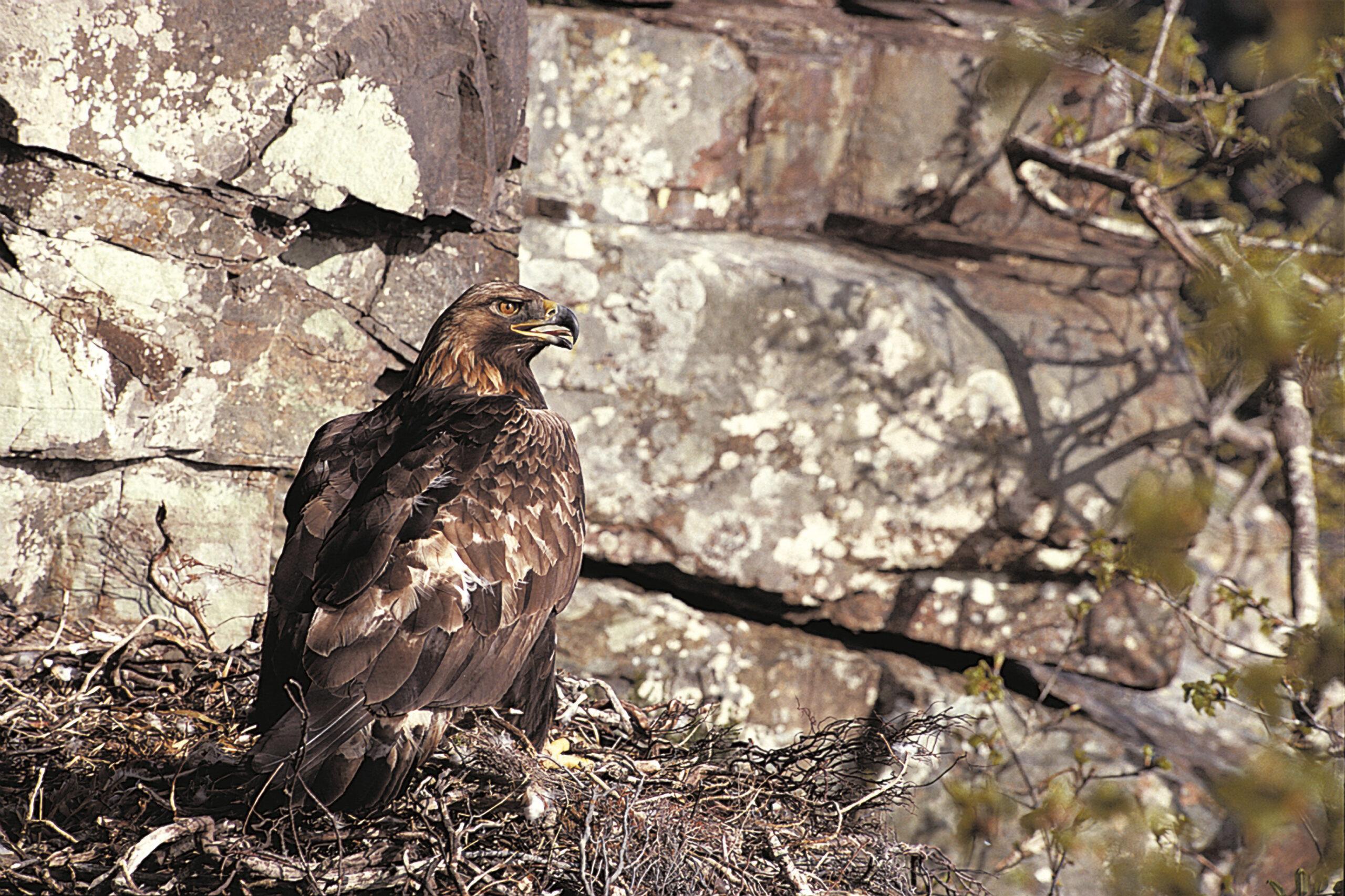 Golden-Eagle-RSPB-Images-1