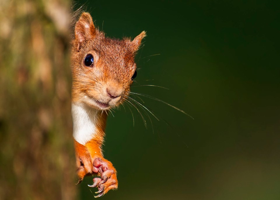 Haweswater_Red-Squirrel_P-Neaves-1