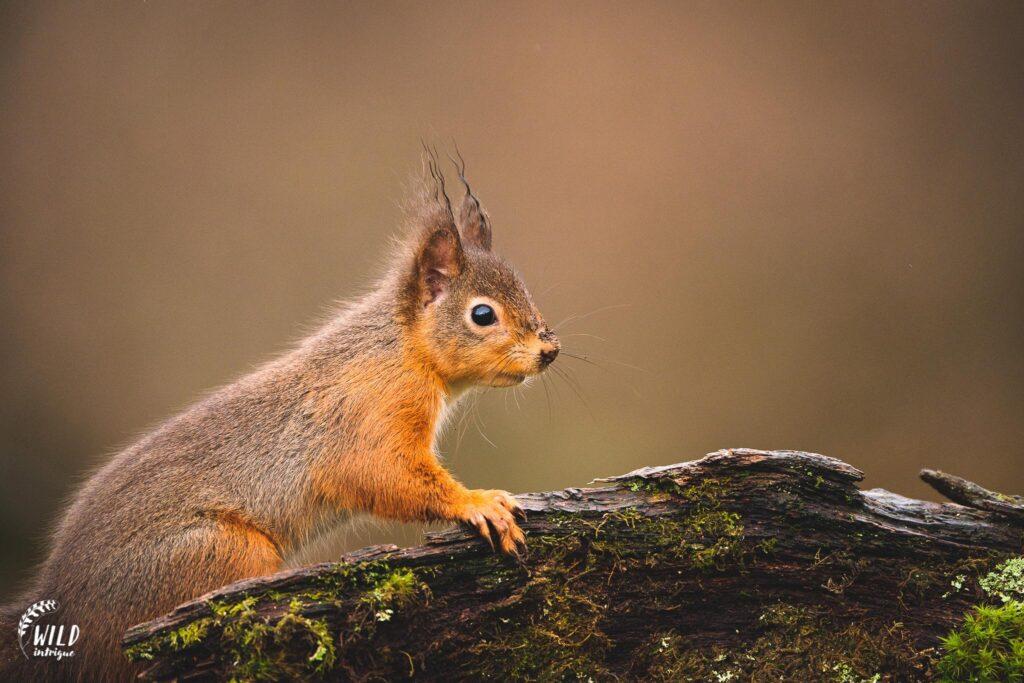 Hide squirrel