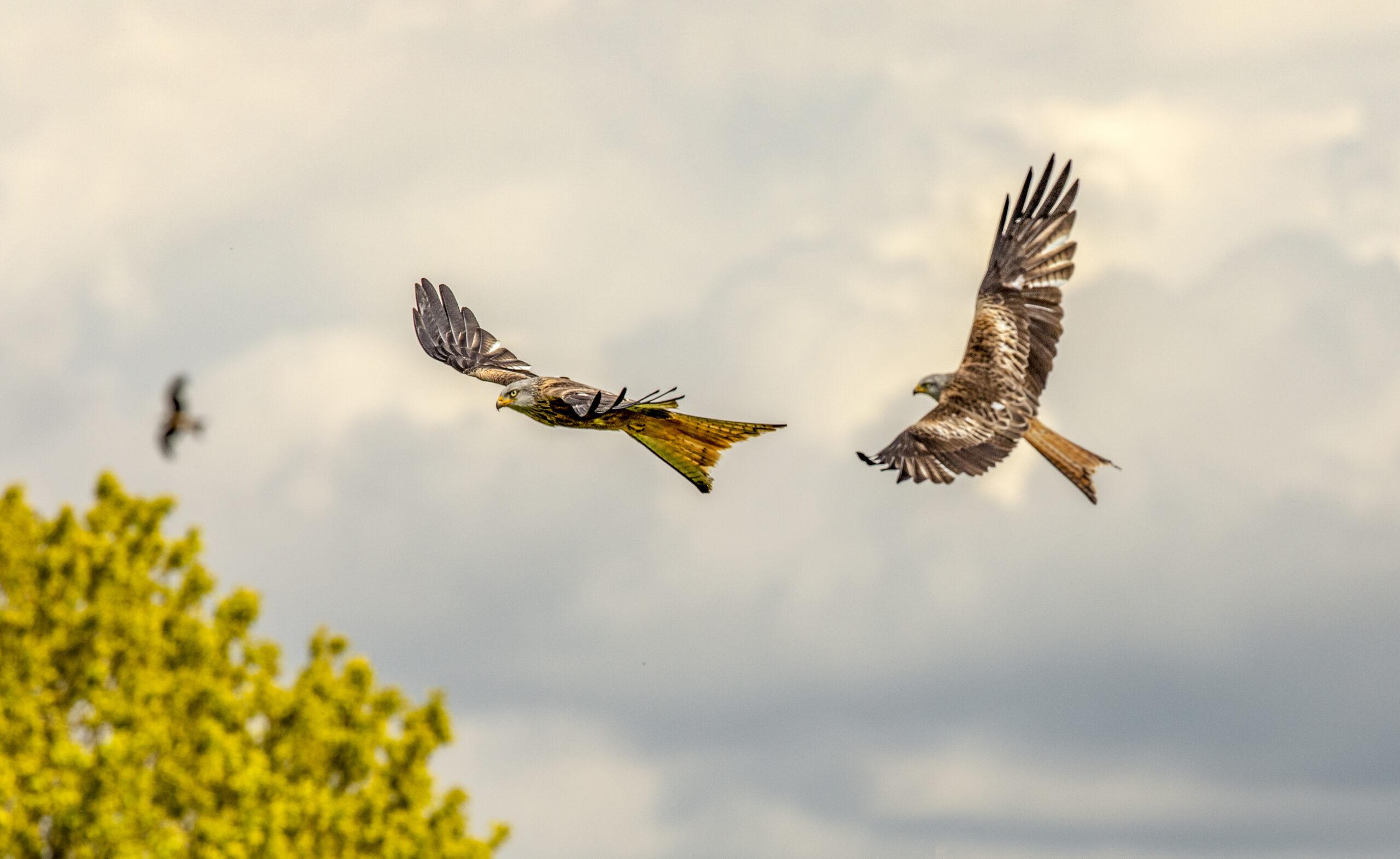 Red kite Milvus milvus, adults in flight, Wales, May