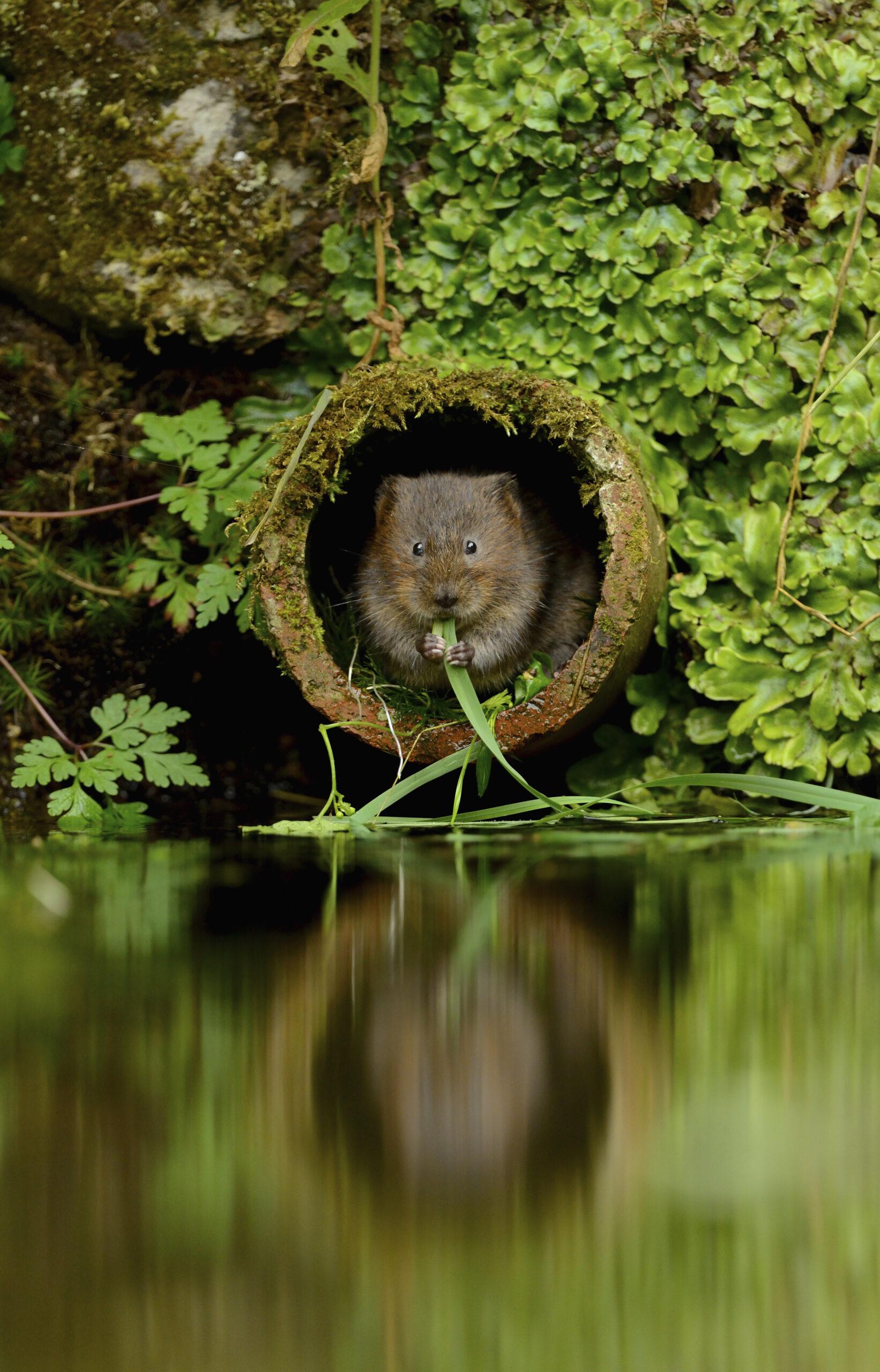 Water vole Arvicola amphibius, eating aquatic vegetation, Kent, August