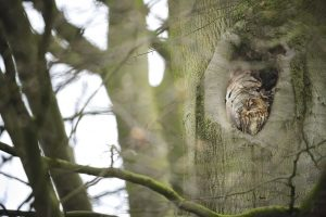 Tawny owl Strix aluco, adult day roosting in a tree hole, Wollaton Park, Nottinghamshire, April