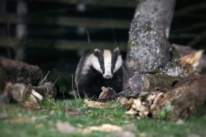 Haweswater Badger_Patrick Neaves